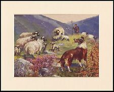 BORDER COLLIE AND SHEEP LOVELY DOG ART PRINT MOUNTED READY TO FRAME