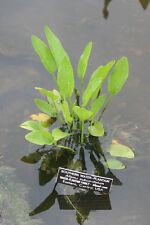 Gewöhnlicher Froschlöffel 100 Samen Uferpflanze Alisma Plantago Aquatica