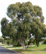 Wallangarra White Gum (Eucalyptus scoparia) Scarce seed