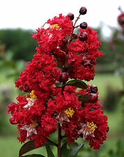 100+ seeds Red Crepe Myrtle Red Rooster Lagerstroemia Crape Myrtle trees shrubs