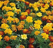 100 graines de fleurs Œillet d'Inde Varié Facile à réussir