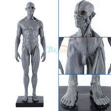 30cm Human Body Anatomical Anatomy Model Teaching Medical Female Sculpture HighQ
