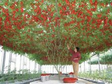 GIANT TREE TOMATO (10 SEEDS)