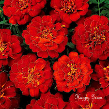 FRENCH MARIGOLD - Double Brocade Red - 300 SEEDS - Tagetes Patula Nana