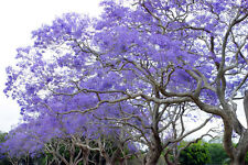 200 Seeds Jacaranda mimosifolia Blue Flower Tree - Black Poui Ornamental Tree