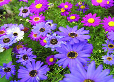 SWAN RIVER DAISY MIX - Brachyscome iberidifolia - 2100 seeds - Annual Brachycome