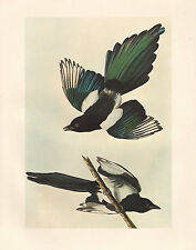 VINTAGE JOHN JAMES AUDUBON BIRD PRINT ~ BLACK-BILLED MAGPIE