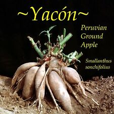 ~PURPLE YACON~ PERUVIAN GROUND APPLE Crunchy FRUIT from the ANDES LIVE PLANT