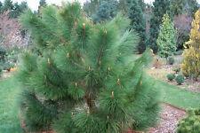 Pinus yunnanensis-pino Yunnan - 10 semillas
