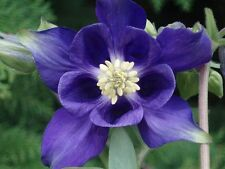 Alpina Columbine! 25 Seeds! UNIQUE! BOLD COLOR! COMB. S/H! SEE OUR STORE!