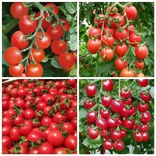 80 Bonsai Tomato Seeds Mini Cherry Potted Sweet Fruit Vegetable Organic Fresh