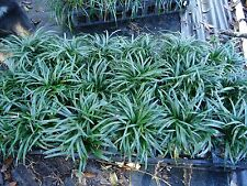 DWARF MONDO GRASS 18 cups tray,Evergreen, ground cover, border, rock garden.