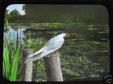 Glass Magic Lantern Slide EUROPEAN BIRDS NO67 ORNITHOLOGY PHOTO