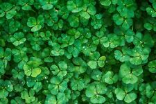 New Zealand White Clover,  500+ seeds op/heirloom