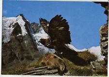 Alte Postkarte - Steinadler am Großglockner mit geschlagenem Murmeltier