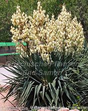 Yucca glauca ** palmlilie ** au gel ** hiver 10 graines fraîches balcon