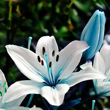 50X Oriental Lily Blue Stargazer Scented Flower Bulbs Seeds Home Garden Plants