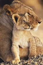 Lion and Cub POSTER Big Cats 61x91cm Love Nurture Nature Animal Wall Art NEW