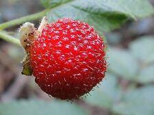 SEEDS 6 graines de FRAMBOISIER D' ASIE(Rubus Rosifolius) ROSE LEAF BRAMBLE