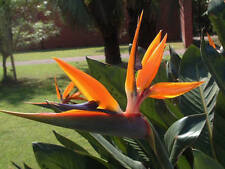 Strelitzia reginae - Bird of Paradise Flower - Fresh Seeds