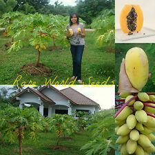 From Thailand: 'Golden Thai' DWARF Rare Golden skin/flesh PAPAYA Brix:14% SEEDS.