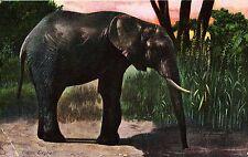 Elefant, Indischer Elefant, 1908