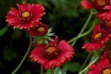 250 Seeds Gaillardia Burgundy Blanket Flower Garden Starts Nursery