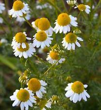 Matricaria recutita - 5000 Semi-Camomilla-pianta medicinale