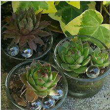 Fairy Garden Glass Succulent Planter with Live Hen And Chicks Plant & Glass Orbs