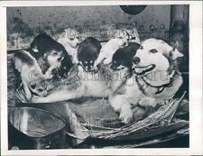 1945 Mother Siberian Husky Sled Dog With Pups Press Photo