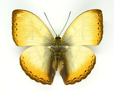Unmounted Butterfly/Nymphalidae - Cymothoe reinholdi vitalis, male, CAR