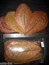 50 LARGE Premium Thai INDIAN ALMOND CATAPPA LEAVES -betta, discus, shrimp, pleco