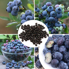 """NEW 100 seeds/pack BLUEBERRY seeds Bonsai - """"Super nutritious food"""""""