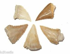 Palaeocene Palaeocarcharodon Great White shark tooth crown superb serrations