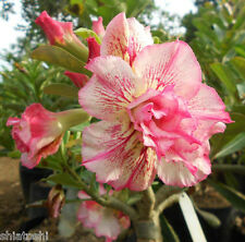 "ADENIUM DESERT ROSE, SSN-53 ""Country Rose "" 5.5 inch Grafted Plant"