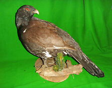 CAPERCAILLIE Cock Male Black Forest Game Bird Hunting Taxidermy