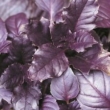 Basil - Purple Delicacy - 300 Seeds