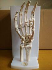 Hand Skelett Modell lebensgroß bewegliche Knochenteile Anatomie hand joint model