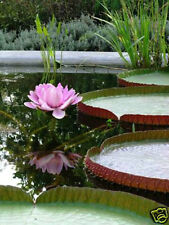 Victoria Amazonica/Giant Water Lily/Lotus/50 seeds/