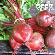 Early Wonder Beet Seeds - 100 SEEDS-SAME DAY SHIPPING