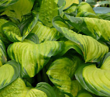 STAINED GLASS HOSTA PLANT