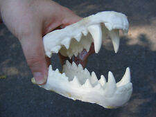 Thylacine tasmanian tiger wolf replica jaws teeth cast reproduction taxidermy