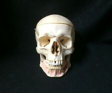 SOMSO QS2-1 Anatomical Model of Artificial Human Skull English & Latin (QS 2-1)
