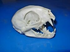 "Genuine - Alaskan - LYNX ""KITTEN"" SKULL - Trap Bones Hunt Mount Skeleton Horn"