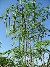 Vegetable Seed DRUMSTICK - Moringa oleifera - Shajna  Seeds - Pack of 15 seeds.