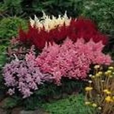 Astilbe (Astilbe Arendsii) Bunter Mix - 50 Seeds