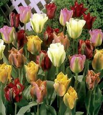 Pack 10 Viridiflora Tulips 'Mixed' WPC Prins Quality Sping Bulbs