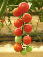 """100 Red SWEETIE CHERRY TOMATO Super Sweet 1"""" Lycopersicon Fruit Vegetable Seeds"""
