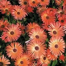 50+  Orange Ice Plant Dorotheanthus Flower Seeds / Livingstone Daisy / Perennial