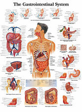 A3 Medical Poster - The Human Gastrointestinal System (Text Book Anatomy Picture